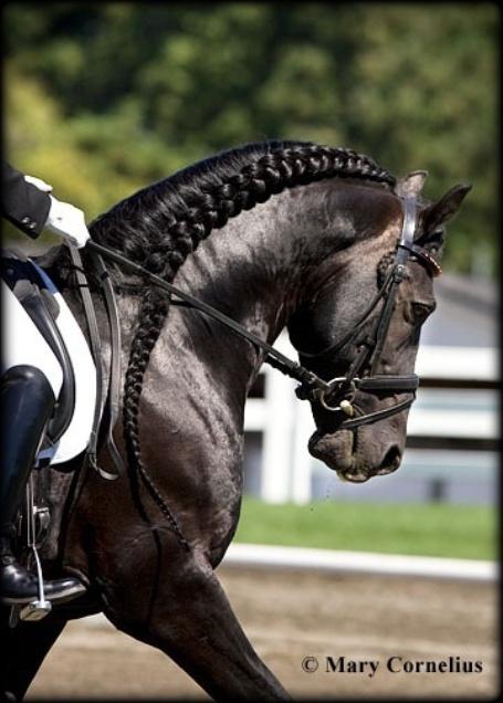 Friesian Stallion Rembrandt01