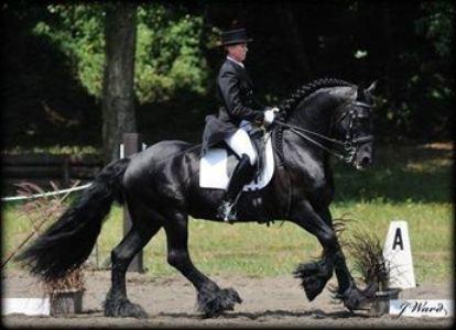 Friesian Stallion Rembrandt02
