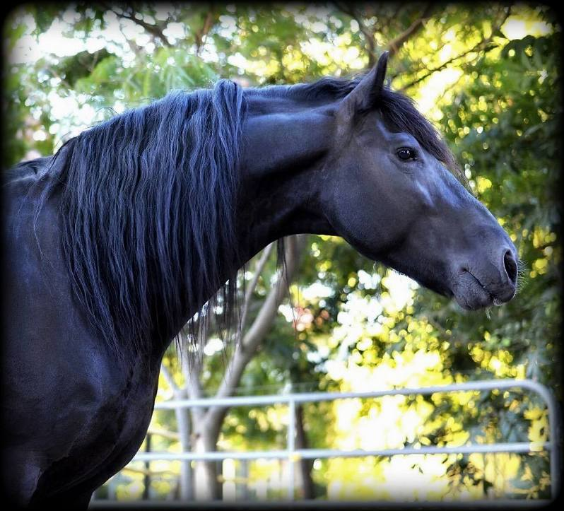 Friesian Stallion Zen6.jpg2